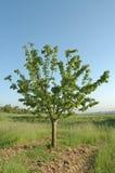 Única árvore de cereja na exploração agrícola imagens de stock royalty free