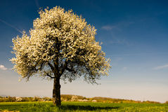 Única árvore de florescência na mola. Fotos de Stock Royalty Free