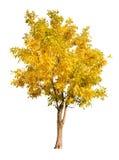 Única árvore do outono do ouro isolada no branco Fotografia de Stock Royalty Free