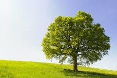 Única árvore em um monte Fotos de Stock Royalty Free