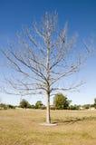 Única árvore enorme no inverno Imagem de Stock Royalty Free