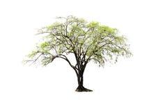 Única árvore indiana do jujuba isolada no fundo branco Fotos de Stock Royalty Free