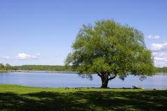 Única árvore na borda do ` s da água Fotos de Stock