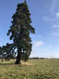 Única árvore no campo com céu azul Fotos de Stock