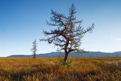 Única árvore no fundo da paisagem do outono das montanhas do céu azul Fotos de Stock