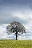 Única árvore no inverno Imagem de Stock Royalty Free
