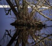 Única árvore que tenta sobreviver às águas da inundação foto de stock