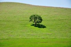 Única árvore verde Fotografia de Stock