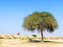 Única árvore verde no deserto Imagens de Stock Royalty Free