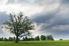 Única árvore verde no prado Imagem de Stock
