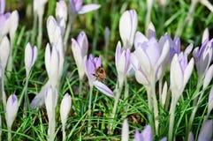 Única abelha, açafrões, folhas frescas do verde e folhas velhas, inoperantes Fotografia de Stock