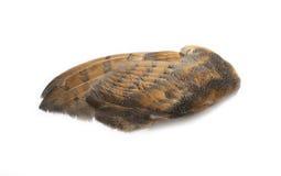 Única asa da coruja Fotografia de Stock Royalty Free