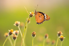 Única borboleta Fotos de Stock