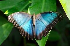 Única borboleta azul Imagens de Stock Royalty Free