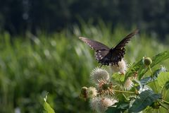 A única borboleta preta desvanecida de Swallowtail com asas abre fotografia de stock royalty free