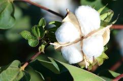 Única cápsula do algodão no sol morno fotografia de stock royalty free