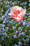 Única cabeça de flor vermelha e branca da tulipa, Imagem de Stock Royalty Free