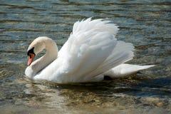 Única cisne em um lago Fotografia de Stock