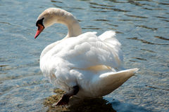 Única cisne em um lago Imagens de Stock Royalty Free