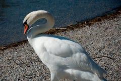 Única cisne na costa de um lago Foto de Stock Royalty Free