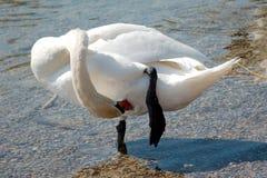 Única cisne que poda-se Foto de Stock Royalty Free