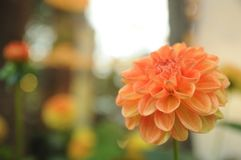 Única flor alaranjada Foto de Stock Royalty Free