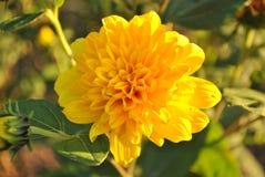 Única flor amarela Imagens de Stock Royalty Free
