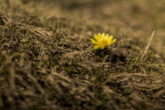 Única flor amarela Fotos de Stock Royalty Free