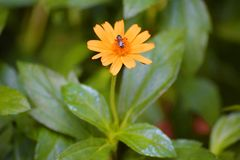 Única flor amarela no jardim Imagens de Stock Royalty Free