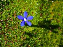Única flor azul da genciana na perda fotografia de stock