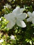 Única flor branca Imagens de Stock
