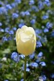 Única flor branca da tulipa Fotografia de Stock Royalty Free