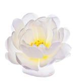 Única flor branca do brier fotografia de stock royalty free