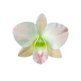 Única flor branca e cor-de-rosa da orquídea isolada no fundo branco com trajeto de grampeamento Fotografia de Stock