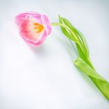 Única flor cor-de-rosa bonita da tulipa Imagens de Stock
