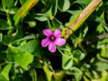 Única flor cor-de-rosa da azeda de madeira fotos de stock