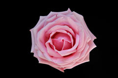 Única flor cor-de-rosa de Rosa Foto de Stock