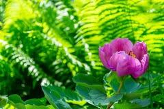 Única flor cor-de-rosa do pionia no fundo verde obscuro da samambaia com placeholder imagens de stock royalty free