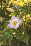 Única flor da anêmona Foto de Stock