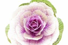 Única flor da Brassica Oleracea no fundo branco Fotos de Stock