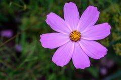 Única flor da ideia superior do cosmos do roxo fotografia de stock royalty free
