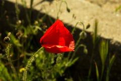 Única flor da papoila vermelha selvagem em um muro de cimento Foto de Stock