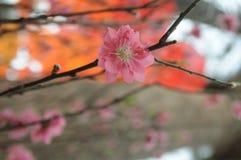 Única flor de cereja Imagem de Stock