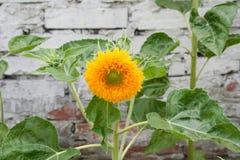 Única flor de florescência em um fundo de hastes verdes, lírio fotografia de stock royalty free