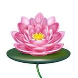 Única flor de lótus isolada no branco Imagens de Stock Royalty Free