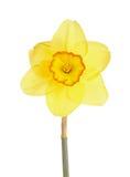 Única flor de um cultivar do narciso amarelo contra um fundo branco Imagens de Stock