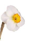 Única flor de um narciso amarelo tricolor contra um fundo branco Imagem de Stock