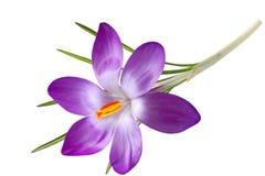 Única flor do açafrão Imagem de Stock Royalty Free