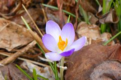 Única flor do açafrão com beleza vibrante delicada Imagem de Stock Royalty Free