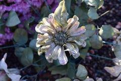 Única flor do algodão foto de stock
